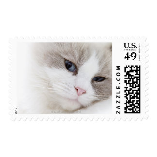 Ragdoll cat postage stamp
