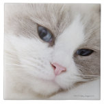 Ragdoll cat tile
