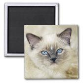 Ragdoll kitten 2 inch square magnet