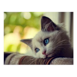 Ragdoll Kitten Looking Out The Window Postcard