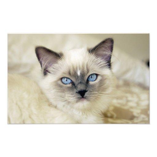 Ragdoll kitten photo