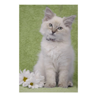 Ragdoll kitten poster with green background