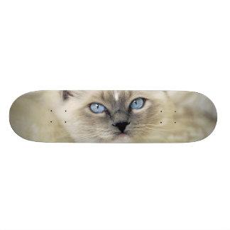 Ragdoll kitten skateboard