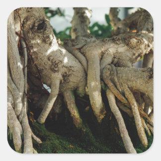 Raíces de los bonsais del Ficus del Banyan de Pegatina Cuadrada