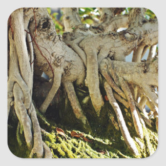 Raíces del árbol de los bonsais del Banyan del Pegatina Cuadrada