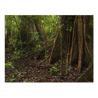 Raíces del contrafuerte. Selva tropical, Mapari Ru Postal