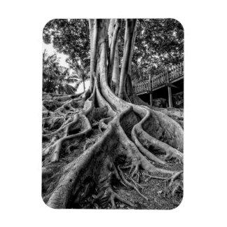 Raíces masivas del árbol de goma imán flexible