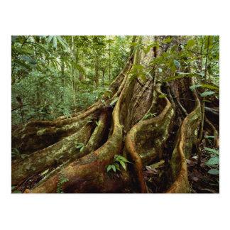 Raíces y tronco del árbol del Sloanea Tarjeta Postal