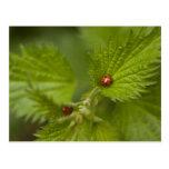 Rain Covered Ladybugs Postcard