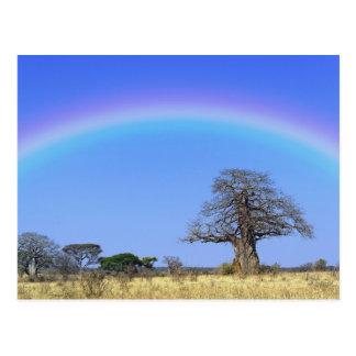 Rainbow and African baobab tree, Adansonia Postcard