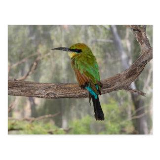 Rainbow bee-eater bird, Australia Postcard