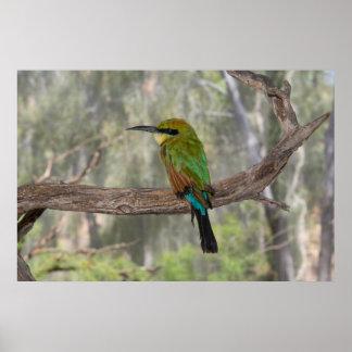 Rainbow bee-eater bird, Australia Poster