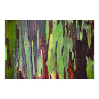Rainbow Eucalyptus 1 Posters