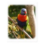 Rainbow Lorikeet 9Y209D-061 Postcard