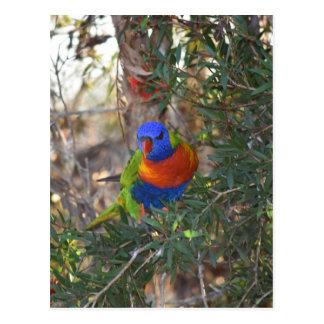 RAINBOW LORIKEET IN TREE RURAL AUSTRALIA POSTCARD