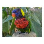 Rainbow Lorikeet on Post Postcard