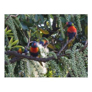 rainbow lorikeet parrots feeding postcard