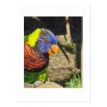 Rainbow Lorikeet Post Cards