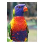 Rainbow Lorikeet (Trichoglossus haematodus 2 Post Cards