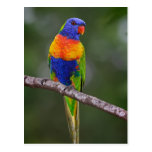 Rainbow Lorikeet Trichoglossus Haematodus Parrot Post Card