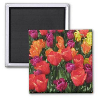 Rainbow Of Tulips Magnet