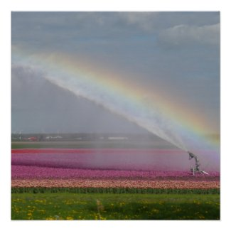 Rainbow over Tulips Field Poster