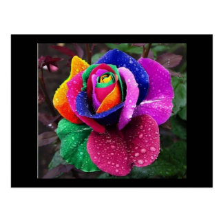 Rainbow Rose Postcard