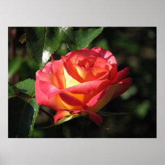 Rainbow Sorbet Floribunda Rose 136 Poster