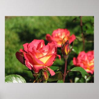 Rainbow Sorbet Floribunda Rose 140 Print