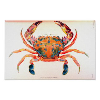 Rainbow Swimming Crab Poster