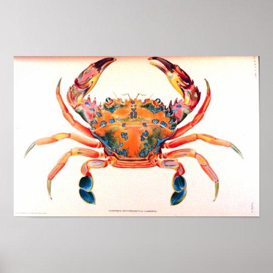 Rainbow Swimming Crab Poster