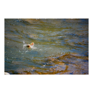 Rainbow Trout (Jumping) Poster