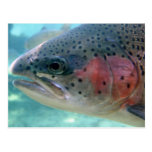 Rainbow Trout Post Cards