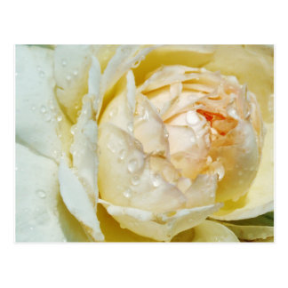 Raindrops on Champagne Blush  White Rose floral Postcard