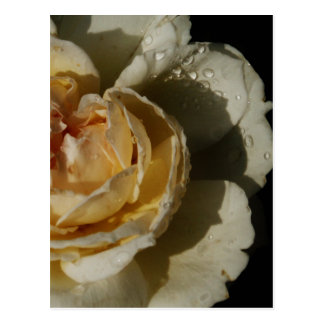 Raindrops on Champagne cream White Rose floral Postcard