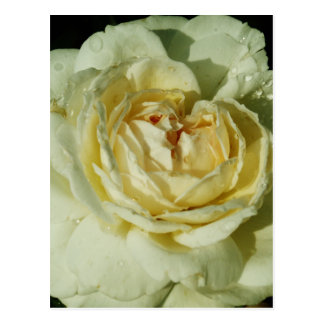 Raindrops on Champagne White Rose floral Postcard