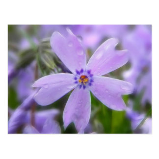 Raindrops On Creeping Phlox Postcard