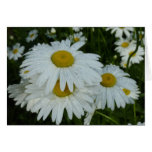 Raindrops on Daisies Wildflower Nature Photography Card