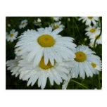 Raindrops on Daisies Wildflower Nature Photography Postcard