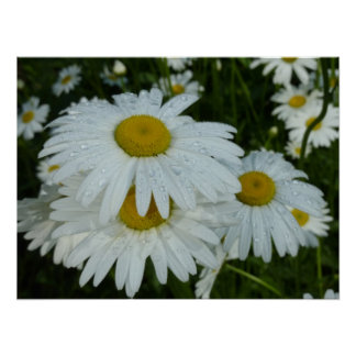 Raindrops on Daisies Wildflower Nature Photography Poster