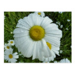 Raindrops on Daisy I Wildflower Nature Photography Postcard