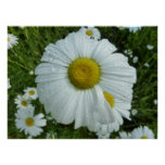 Raindrops on Daisy I Wildflower Nature Photography Poster