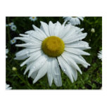 Raindrops on Daisy II Summer Wildflower Postcard