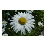 Raindrops on Daisy II Summer Wildflower Poster
