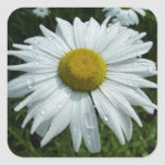 Raindrops on Daisy II Summer Wildflower Square Sticker