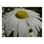 Raindrops on Daisy III Beautiful Nature Photograph Poster