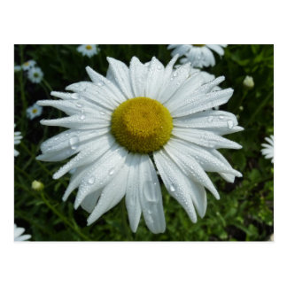 Raindrops on Daisy Postcard