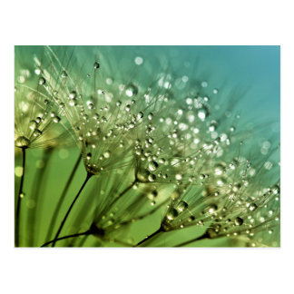 Raindrops on dandelions postcard