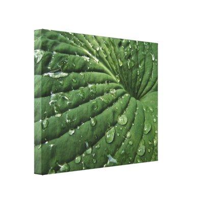 Raindrops on Hosta Leaf Canvas Print