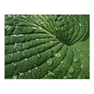 Raindrops on Hosta Leaf Postcard
